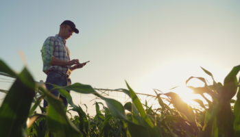 Farmer working in a cornfield, using smartphone